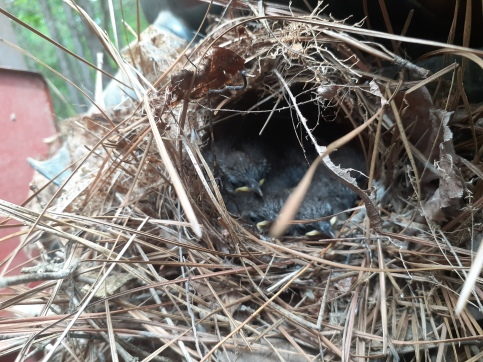 We found this nest under the hood of a tractor
